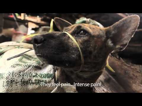 ✦INDONESIA:CAPTURING OF STRAY & STOLEN DOGS FOR DOG MEAT✦