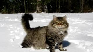 Порода кошек. Сибирская кошка.Старинная порода.Произошла несколько столетий назад