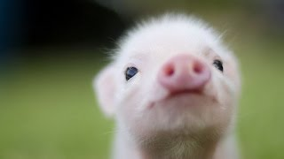 About pigs -