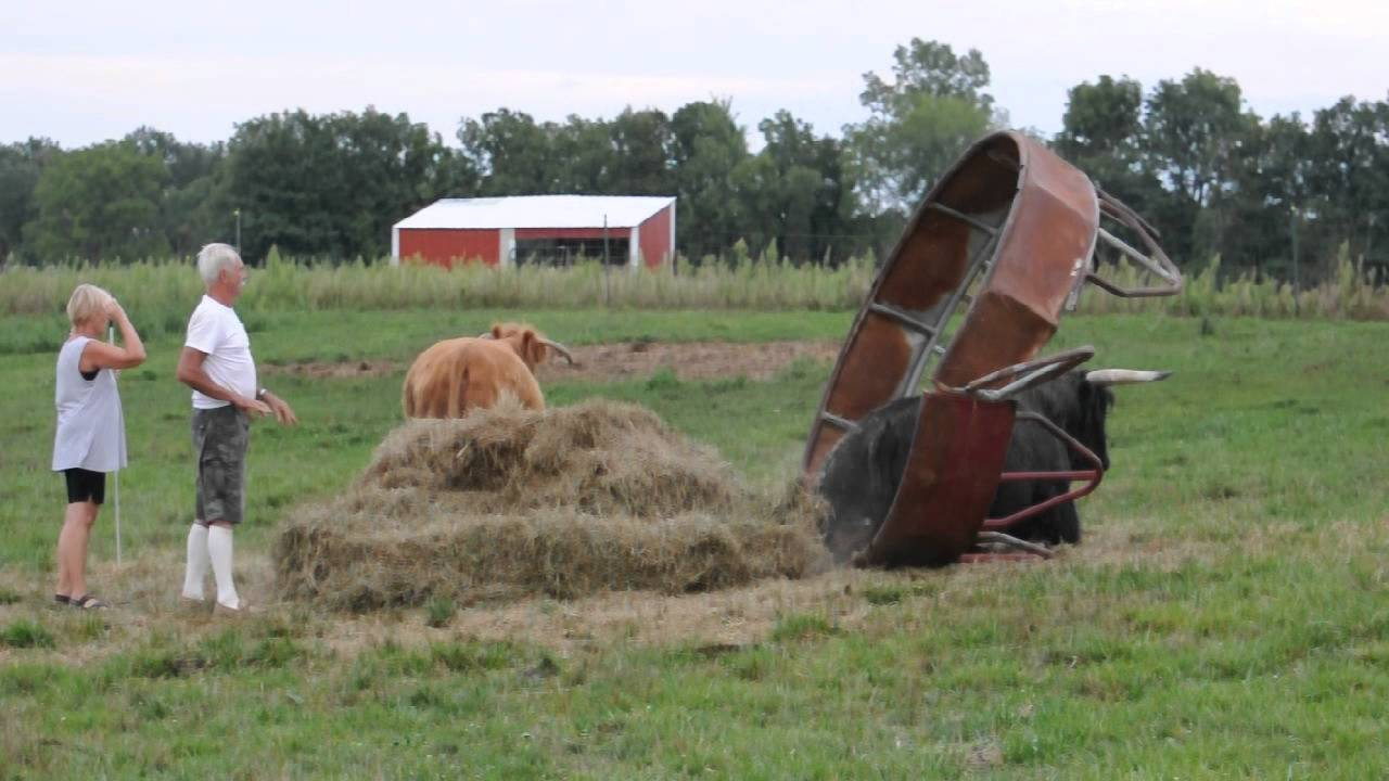 free feeder at picture photo cows image royalty hay for and stock