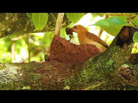 Birds Engineering, Constancy is the secret of success, Rufous Hornero, bird building its nest,