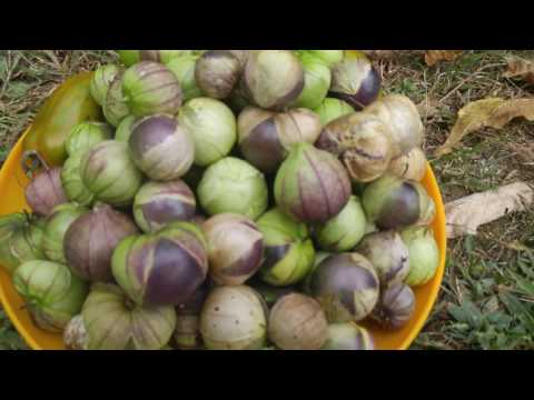 Tomatillos - How to Harvest and make Salsa (1 of 2)