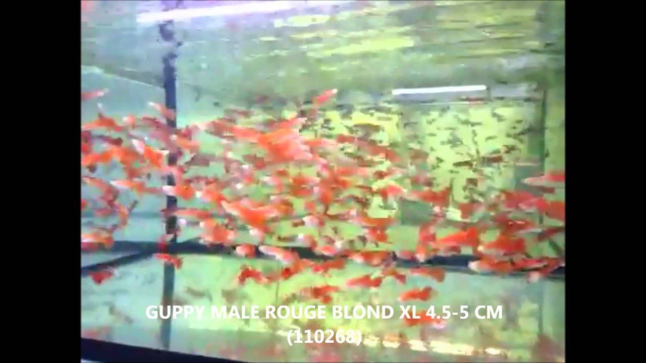 S lection de poissons semaine 05 janvier 2015 comptoir du poisson exotique youtube - Comptoir poisson exotique ...