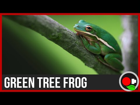 American Green Tree Frog Facts: Untamed Science - YouTube