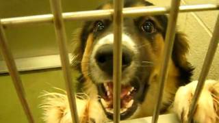 SAVED BY AUSSIE RESCUE GROUP -  Moreno Valley Shelter, CA  ID# A361424