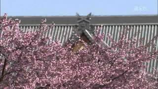 親里の桜のみどころ