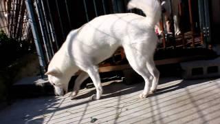 いつも愛想のいい紀州犬のはなちゃんです♪ 2010年11月4日撮影。
