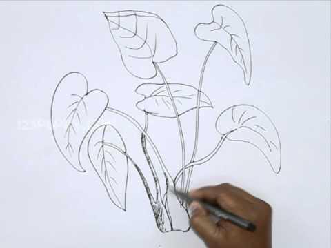 How to Draw Colocasia Esculenta