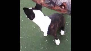 My Brindle English Bull Terrier Puppy