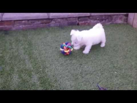 Westie X Bichon Frise (Weechon) pups
