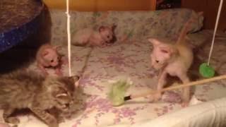 Котята донские сфинксы играют. В день рождения - 1 месяц.