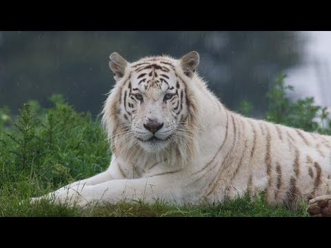 Tiger VS Lion ►Who is the king of animals ? Bear Leopard Crocodile Hippo Eagle Hyenas Wolf Fox Snake