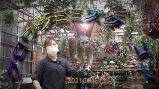 富士花鳥園 バードショー 2021.06.15 クロワシミミズクのゴンくん