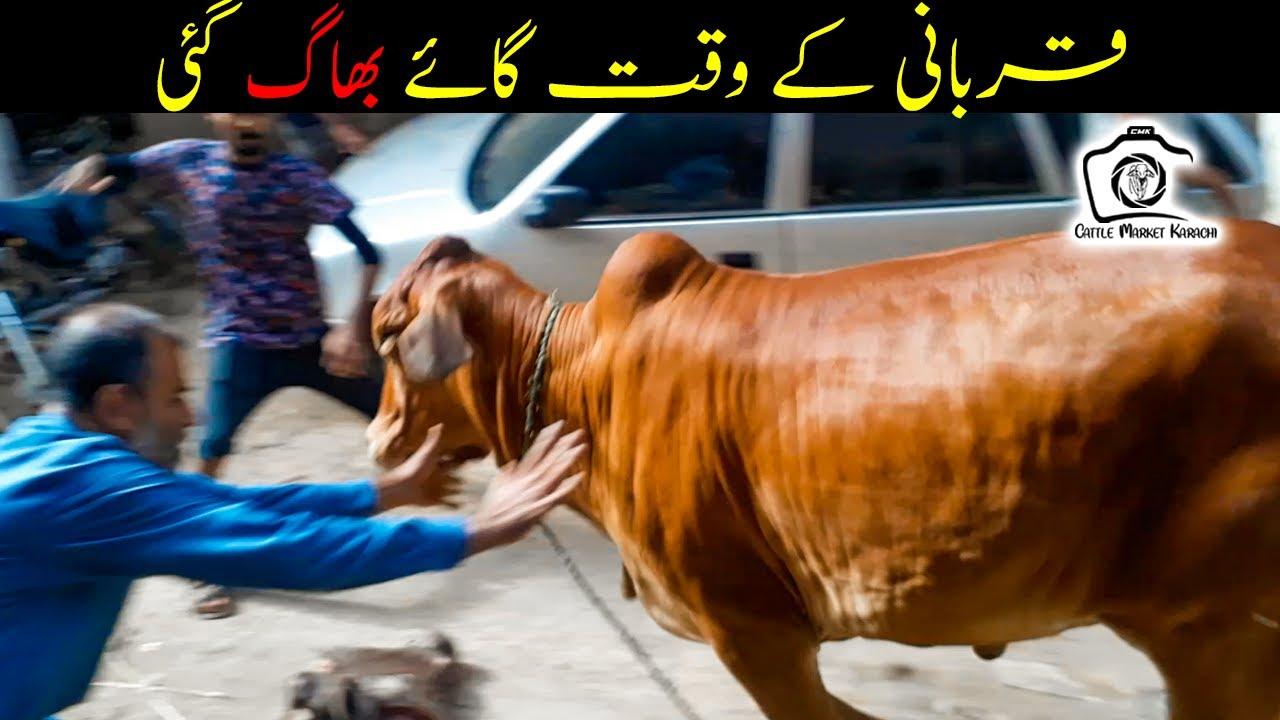 Cow BHAG GAI at Qurbani Time | Cattle Market Karachi Bakra Eid 2021 Eid ul Adha 2021 Cows Qurbani