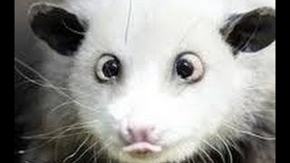 White Possum - Rare Australian Marsupial (part 2)
