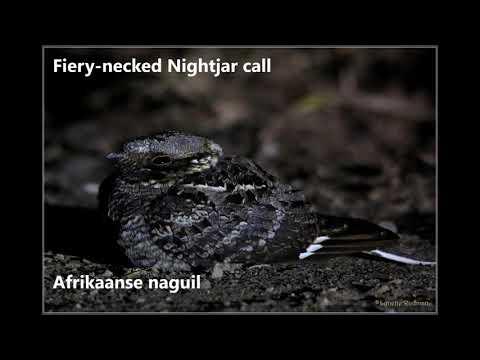 fiery-necked nightjar call