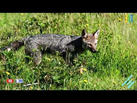 VIDEO: El lobo de los andes chimborazo