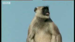 Warlord vs The Outlaws posse - Monkey Warriors - BBC animals
