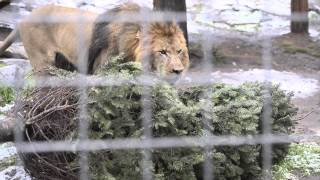 Lions get leftover Christmas trees