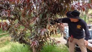 Managing Peach Leaf Curl
