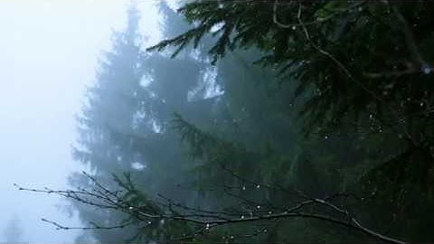 Permanent Link to Sounds for Deep Sleep, Relaxation 10 Hours / Rain in Spruce Forest, Fog, Swaying Branches in Wind