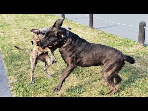 pointer-gun-dog-attack-cane-corso-mastiff-in-dog-park.-how-can-you-manage-dog-aggression-in-the-park