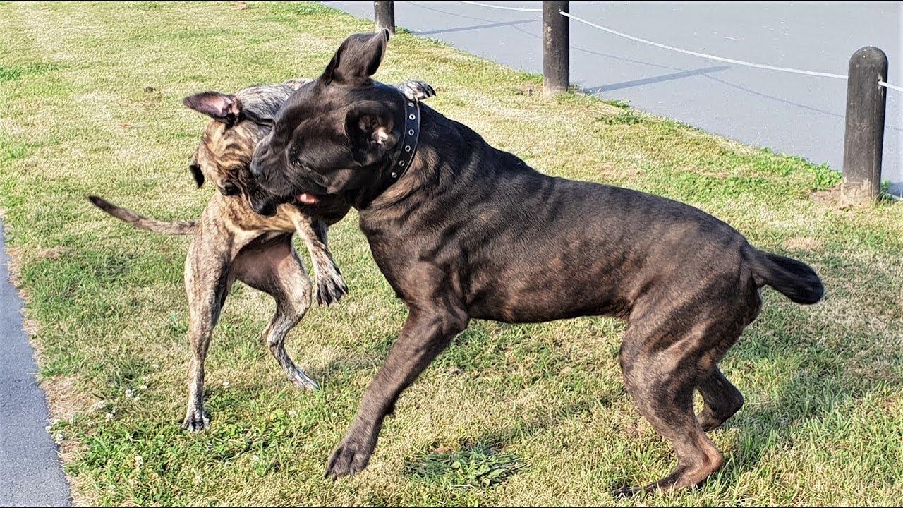 Pointer Gun Dog Attack Cane Corso Mastiff in dog park. How ...