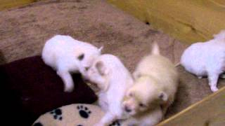 Pomeranian Puppies 3 Weeks Old