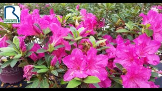 Encore Azaleas are in Bloom!