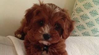 Cavoodle puppy walking his friend