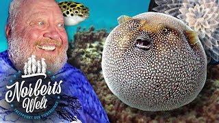 TÖDLICHER FUGU | KUGELFISCH WIRKLICH GIFTIG | NORBERTS WELT | Zoo Zajac
