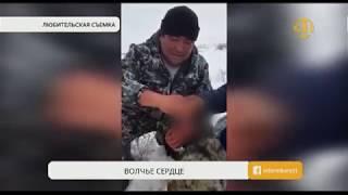 Казахстанцев шокировали кадры, на которых охотники поедают сырое волчье сердце