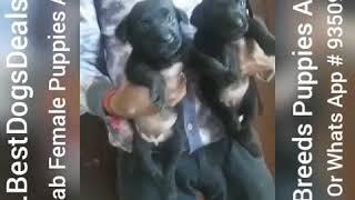 Black Labrador Female Puppies Avilable For Sale 9350926445