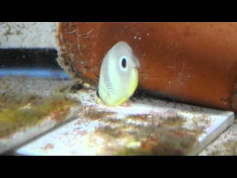 Four Eyed Butterflyfish Feeding On TDO Size C1 And B2