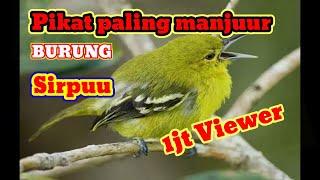 suara pikat paling manjur untuk burung sirpu