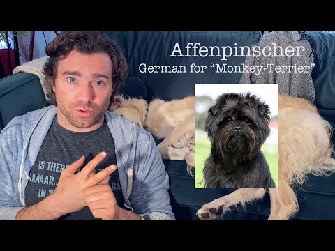 Episode 1  Origins of Doggos  Affenpinscher