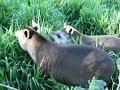 Animais fauna pantaneira fauna brasileira pantanal vida selvagem mp3