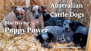 Australian Cattle Dogs...Blue Heeler Puppy Power...5 blue and 2 red ACD puppies being puppies