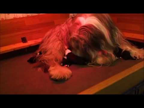 BEARDED COLLIE GREMONTREE - Yvonne's puppies 2018 Birth n.1
