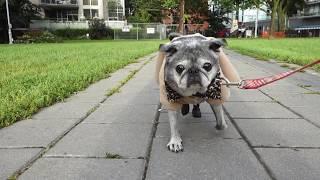 Senior Pug's Morning Routine