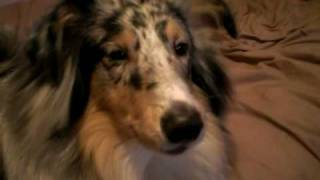 sheltie talks