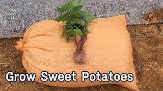 고구마 심는 방법ㅣHow To Grow Sweet Potatoes