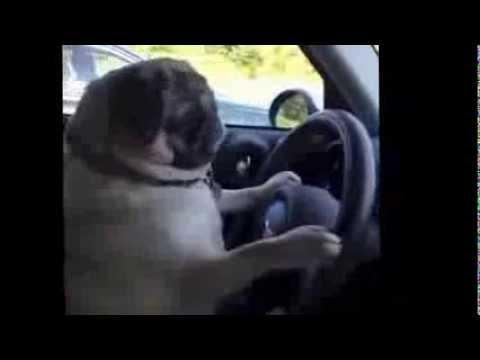 Driving Dog – Cute Vine
