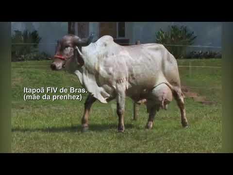 LOTE 9 – PRENHEZ – ITAPOÃ FIV DE BRASILIA RRP6515 X OSCAR