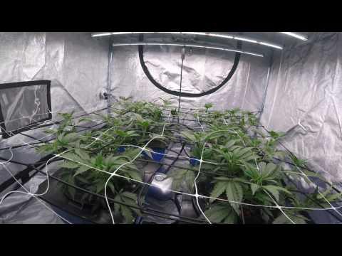 Deep Water Culture Cannabis: Gelato #33, 19 days veg