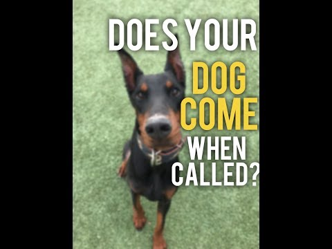 Why wont my dog come when called? Recall Training with America's Canine Educator