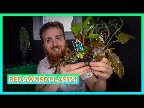 RED FLAME SWORD, KLEINER BAR SWORD, RED RUBIN SWORD - RED AQUARIUM PLANT CARE GUIDE