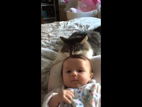 Norwegian forest cat loves baby.