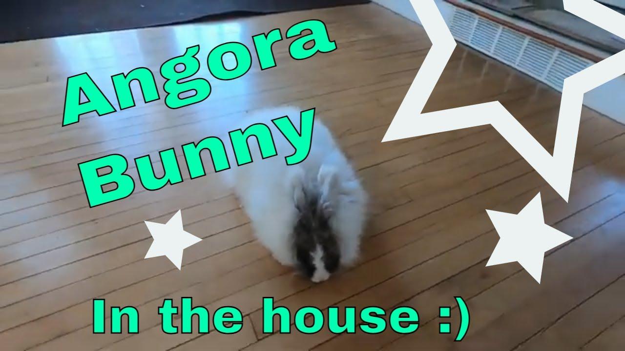 Arthur the angora bunny in the house!