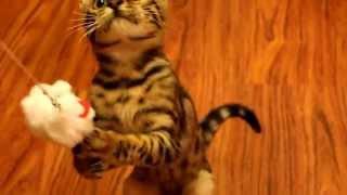 Бенгальский котенок убивает игрушку :)